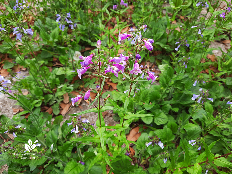 Brazos penstemon (Gulf penstemon) and native Salvia lyrata Central Texas Gardener