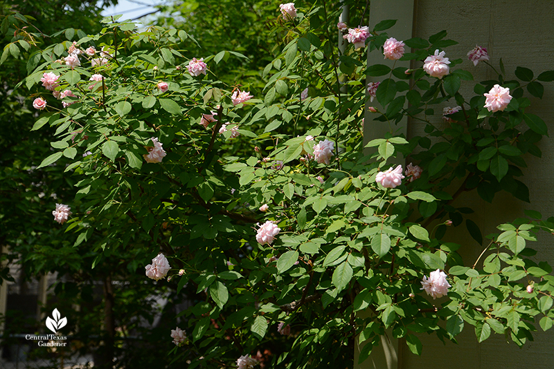 Cecile Brunner rose Central Texas Gardener