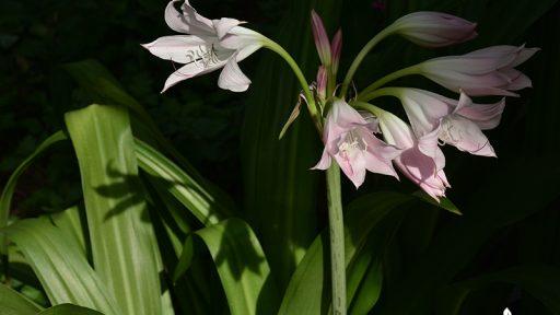 Crinum lilies good cut flowers for fragrance Central Texas Gardener
