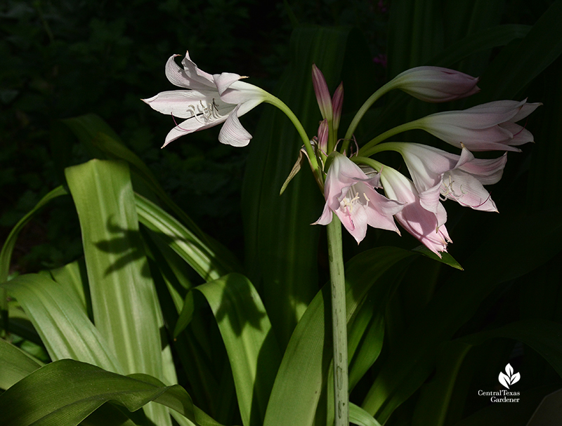 Crinum lilies good cut flowers for fragrance Central Texas Gardener