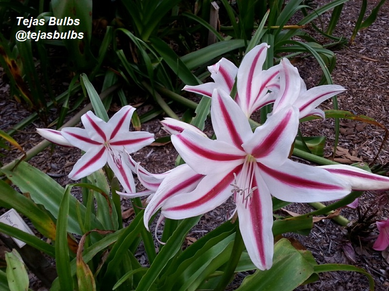 Crinum lily Stars and Stripes Phillip Schulze Tejas Bulbs
