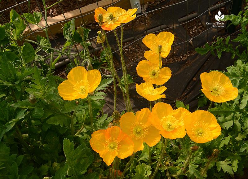 Golden Iceland poppies La Otra Flora garden Laura Ruiz Brennand