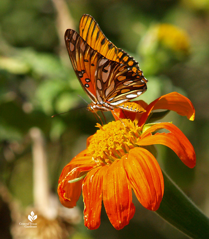 Gulf Fritillary butterfly on Mexican sunflower Tithonia