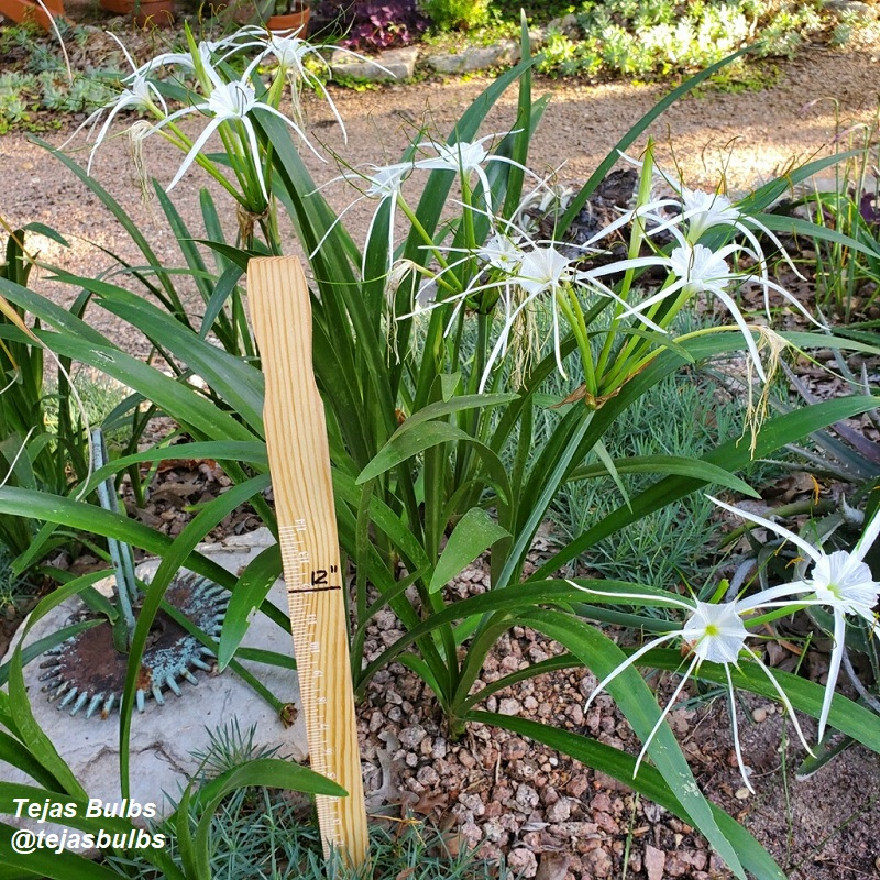Hymenocallis riparia Tejas Bulbs