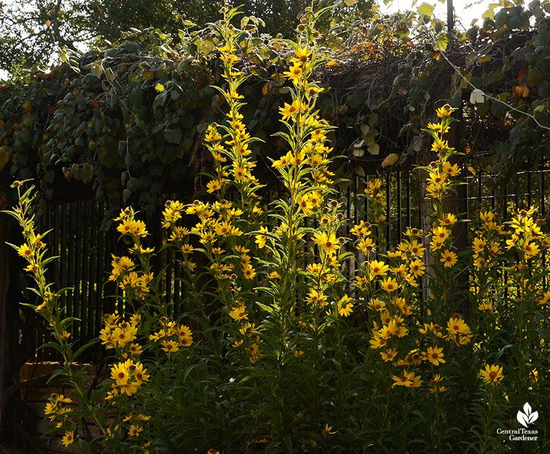 Maximilian-sunflower-Wildflower-Center-Central-Texas-Gardener
