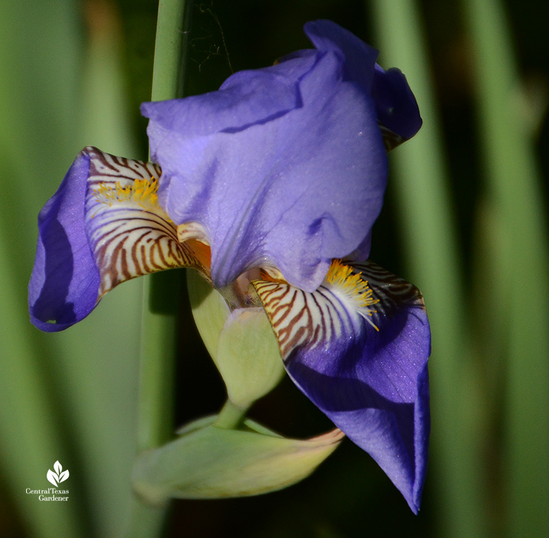 Pale blue bearded iris drought tolerant evergreen structure Central Texas Gardener