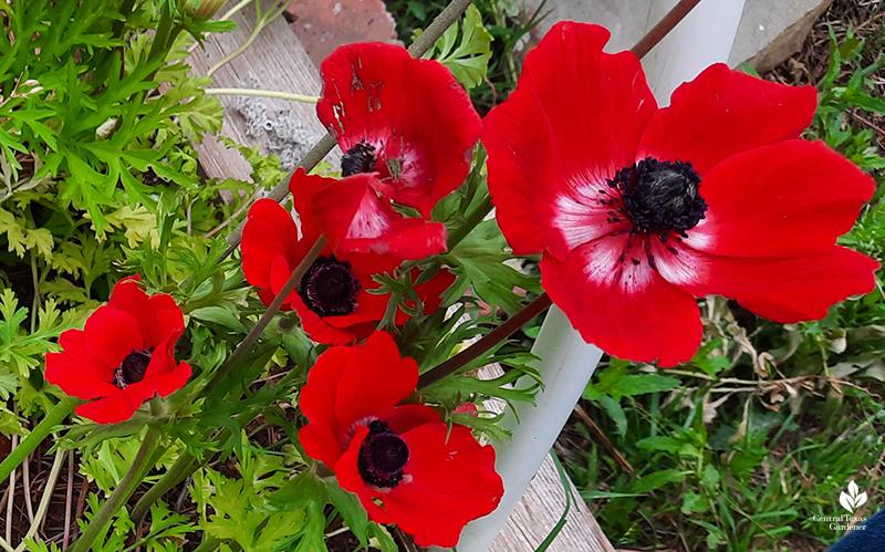 Red anemones cool weather corms La Otra Flora Laura Brennand garden Central Texas Gardener
