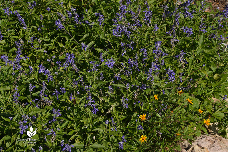 Salvia farinacea mealy blue sage and zexmenia native plants for sun and pollinators Central Texas Gardener