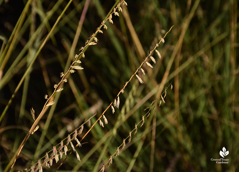 Sideoats grama Texas state grass Central Texas Gardener