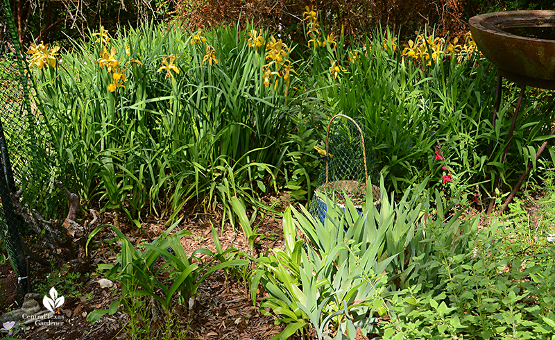 Spuria iris crinum lily daylily bearded iris microphylla Silke's Dream drought tough perennials and bulbs Central Texas Gardener