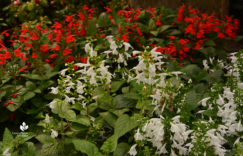 Tropical sage Salvia coccinea red and white Central Texas Gardener