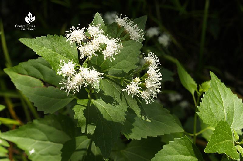 bee on native shrubby boneset white mistflower