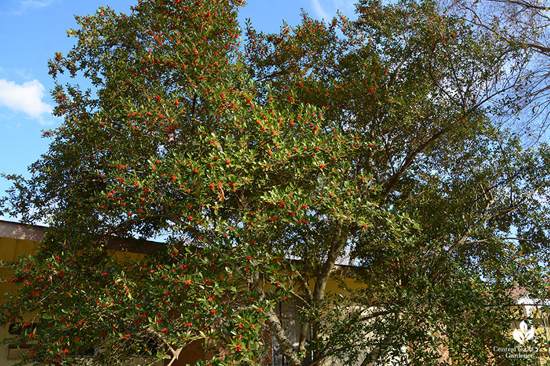 Yaupon holly native small tree for pollinators and birds Central Texas Gardener