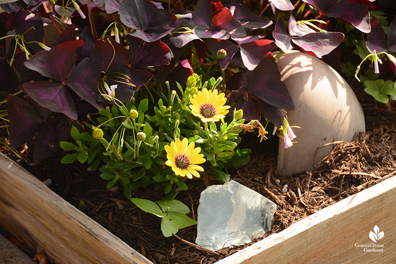 Yellow African daisy with purple oxalis raised bed La Otra Flora garden Laura Brennand