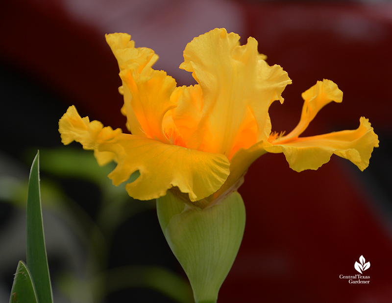 Yellow bearded iris drought tolerant bulb Central Texas Gardener
