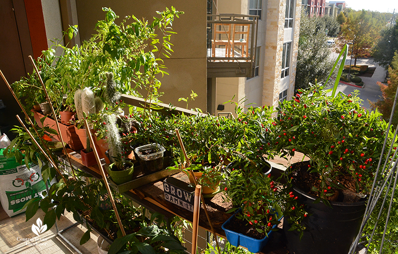 apartment balcony growing food in recycled containers Ashley Romero and Juan De los Rios Central Texas Gardener