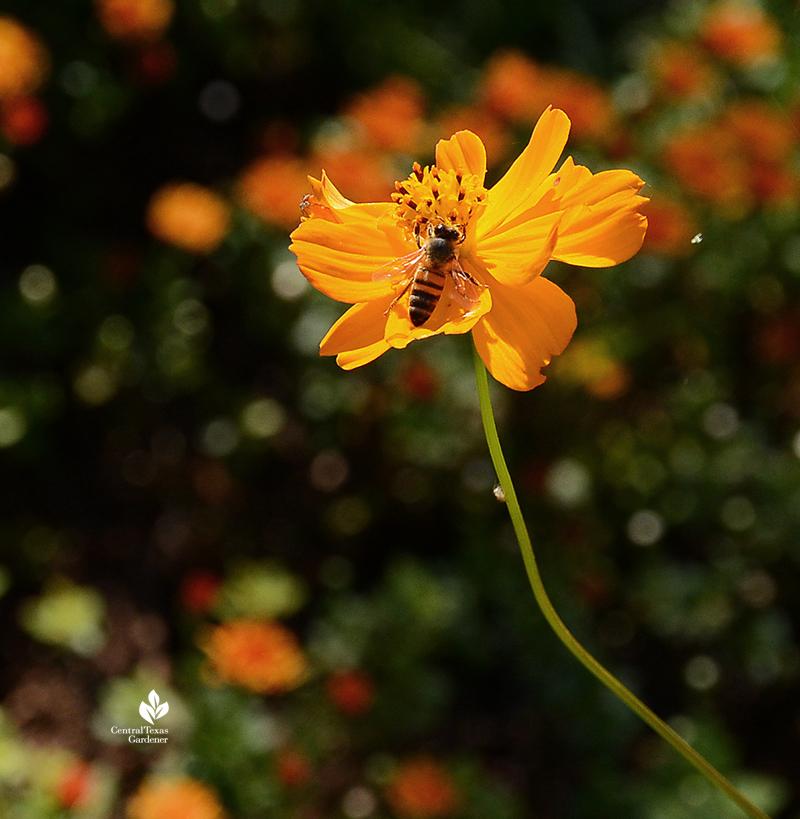 bee on cosmos annual warm weather flower Sheila Smith garden