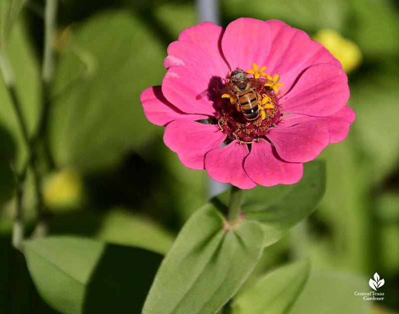 bee on zinnia annual flower Central Texas Gardener