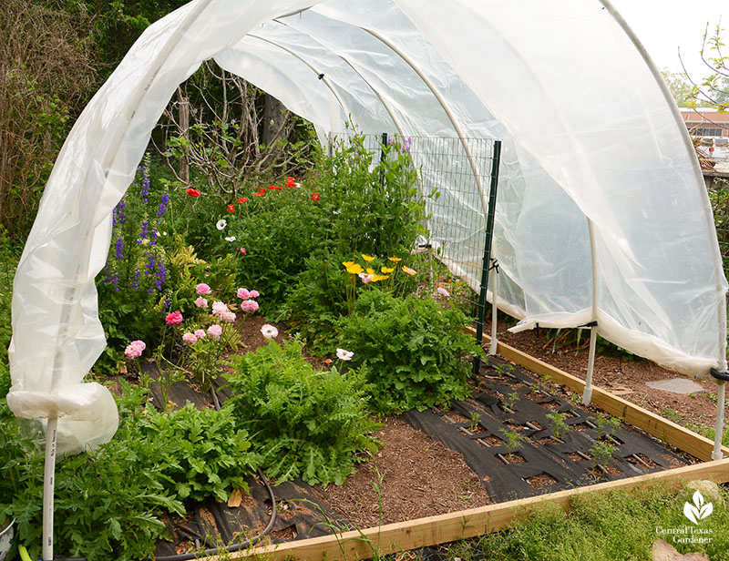 greenhouse plastic and pvc hoop house to protect winter cut flowers La Otra Flora Central Texas Gardener
