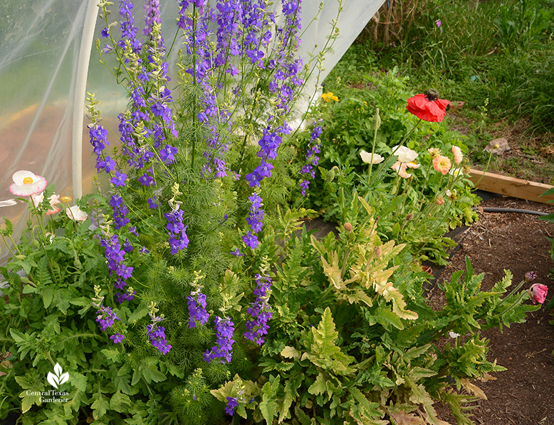 larkspur ranunculus and poppies La Otra Flora Laura Brennand garden
