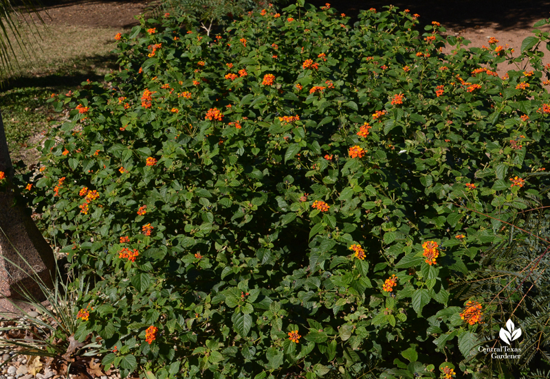 native Lantana Central Texas Gardener