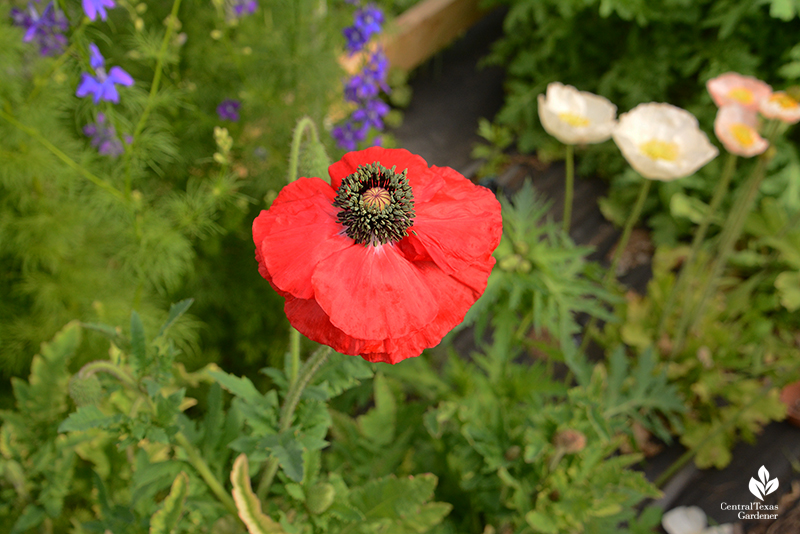 red corn poppy blue larkspur peach Iceland poppies La Otra Flora garden Laura Brennand