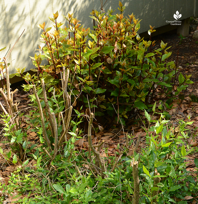 Bay laurel and native Barbados cherry shrubs growing back after 2021 Austin freeze Central Texas Gardener