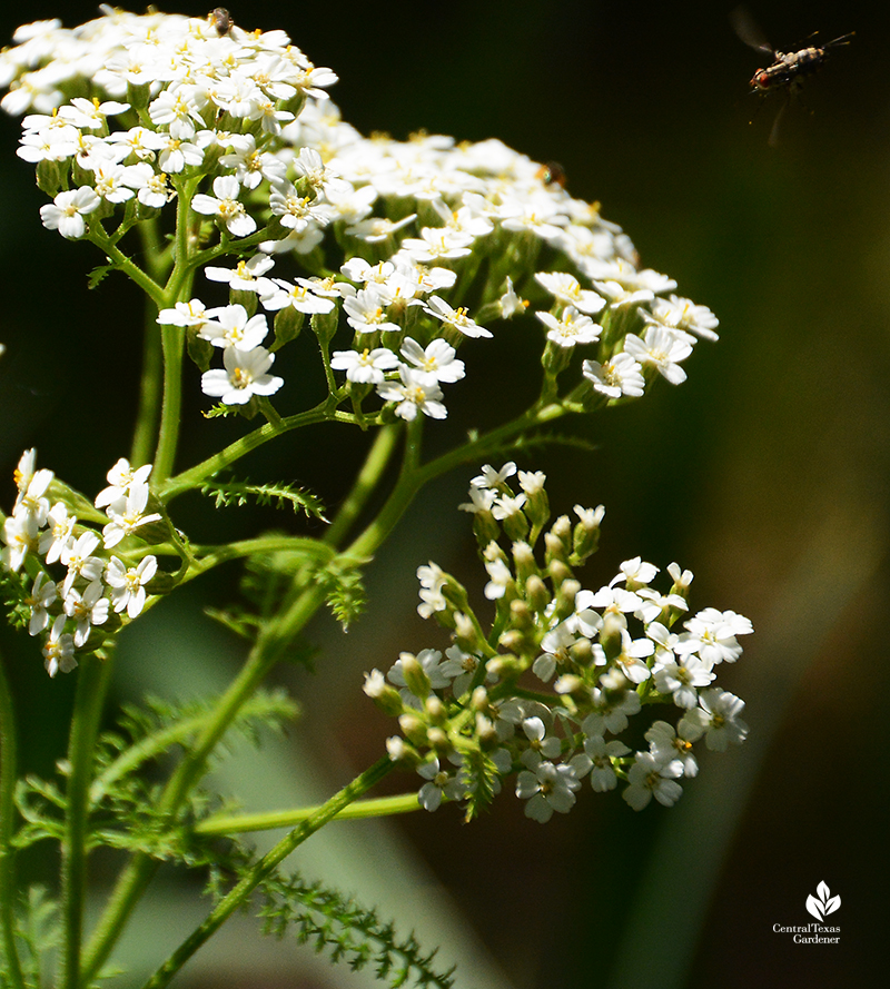 Bee on native yarrow flower Central Texas Gardener