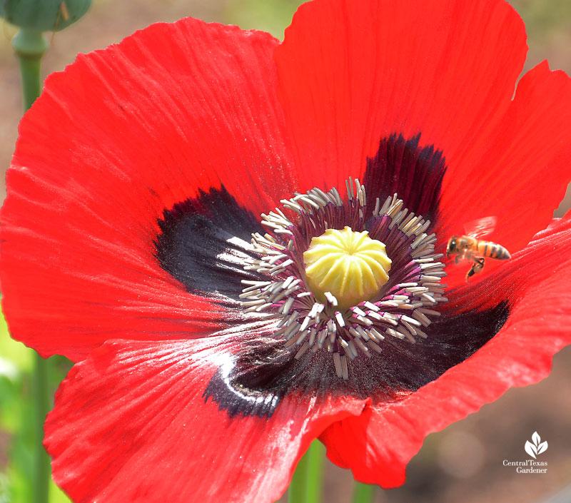 bee on poppy Este Garden