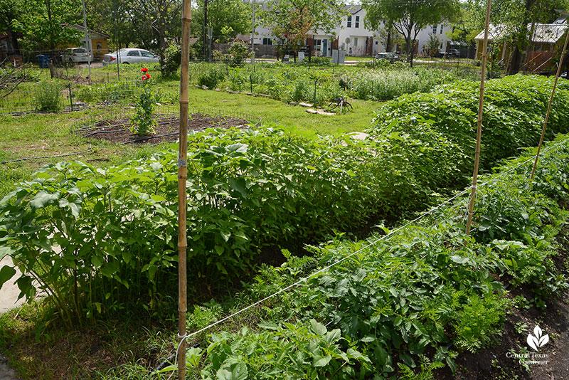 carrots tomatoes sunflowers Este Garden May 2021
