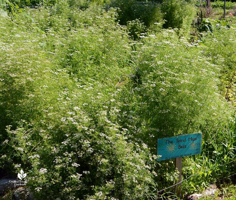 cilantro bolting at Este Garden