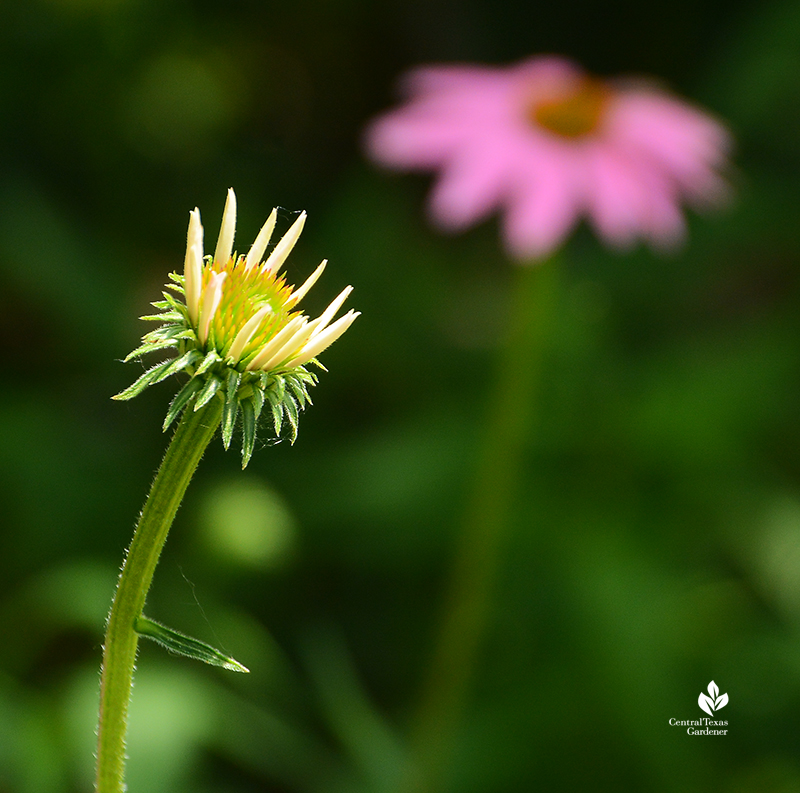 Coneflower bud and flower native perennial