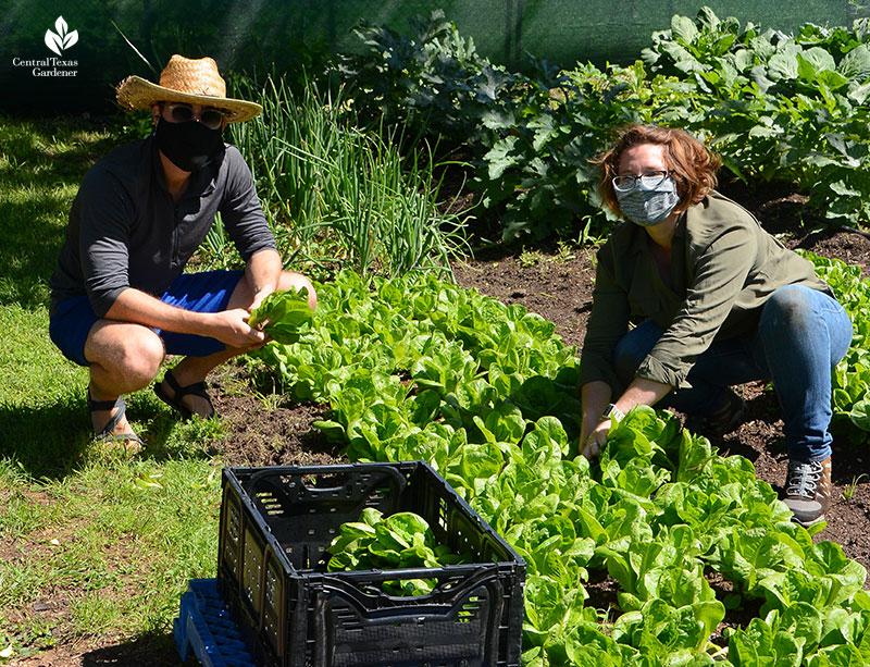 Este Garden volunteer Grant Schaffer and Lea Scott harvest lettuces