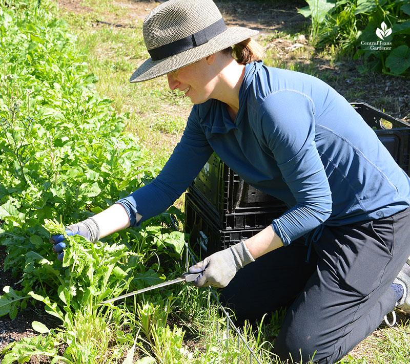 Este Garden volunteer Sarah Nielsen harvests arugula