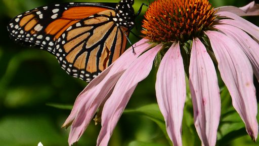 Monarch butterfly on native coneflower during migration Central Texas Gardener