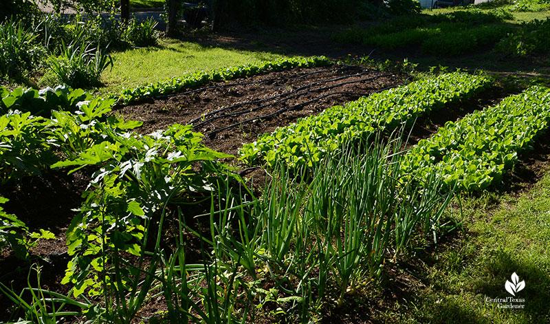 Texas 1015 onions with lettuce Este Garden