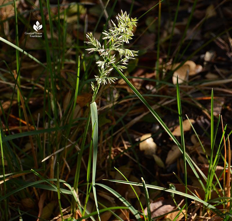 Texas bluegrass Poa arachnifera spring flowers Central Texas Gardener