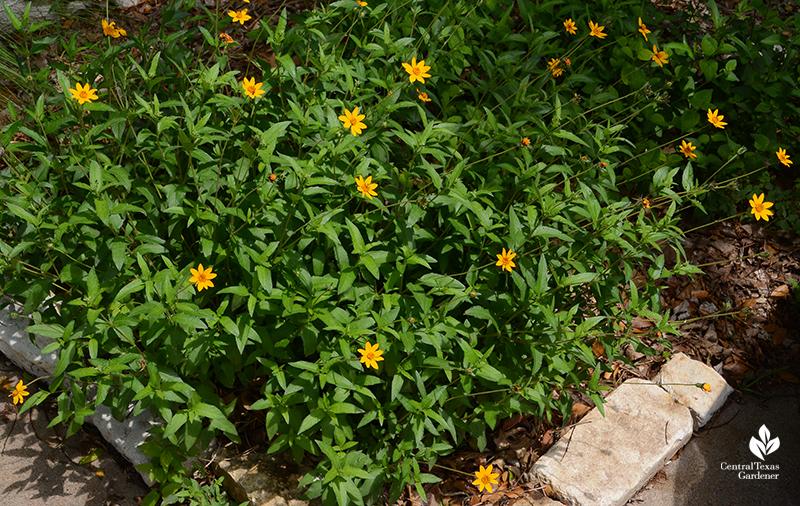 Zexmenia (Wedelia) native perennial Central Texas Gardener