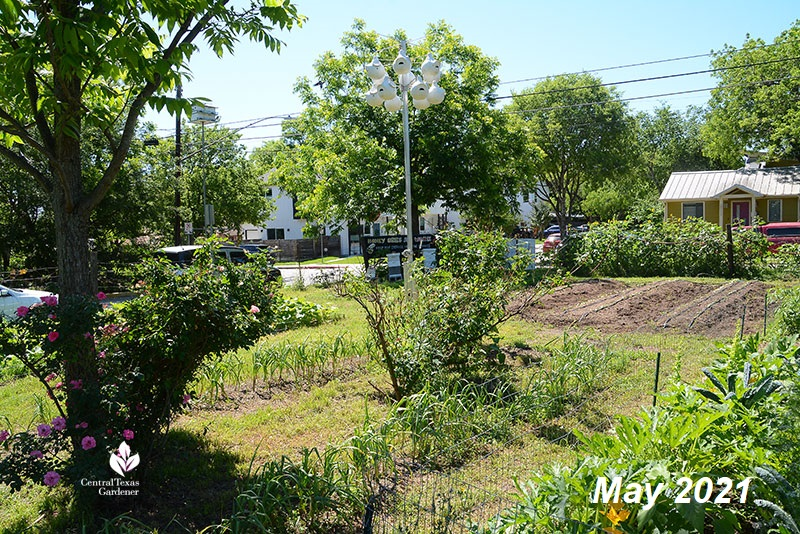 Este Garden beds in May 2021 after some Bermuda grass eradicated