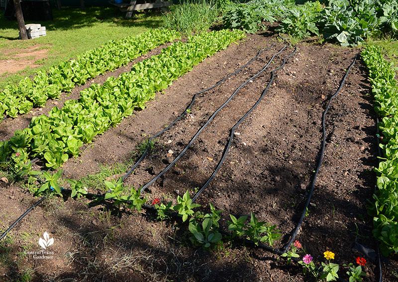zinnias bordering vegetable rows of lettuce Este Garden