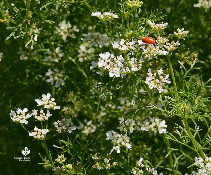 ladybug hunting aphids on flowering cilantro Este Garden