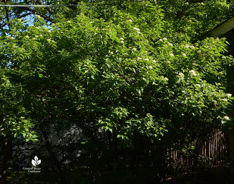 native shrubby tree rusty blackhaw viburnum spring flowers Central Texas Gardener