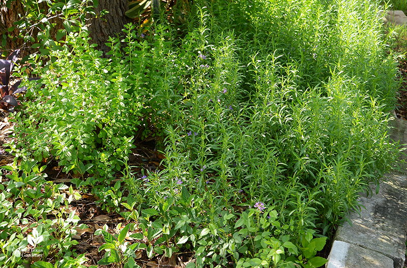 native snake herb groundcover and mountain pea part sun raised bed Central Texas Gardener