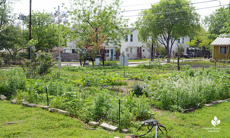 vegetable beds Este Garden April 2021