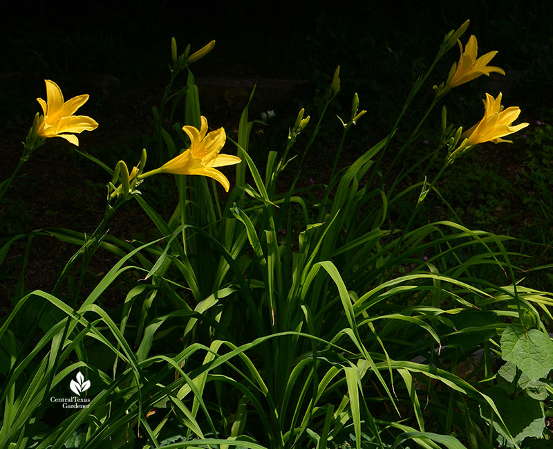 Daylily group high contrast light sun and shade