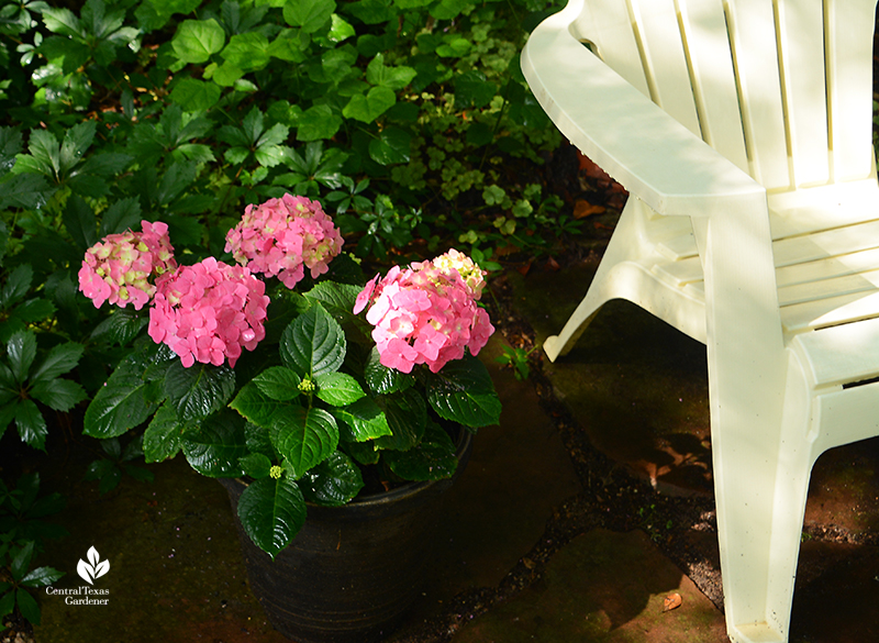 Endless Summer hydrangeas in containers part shade patio