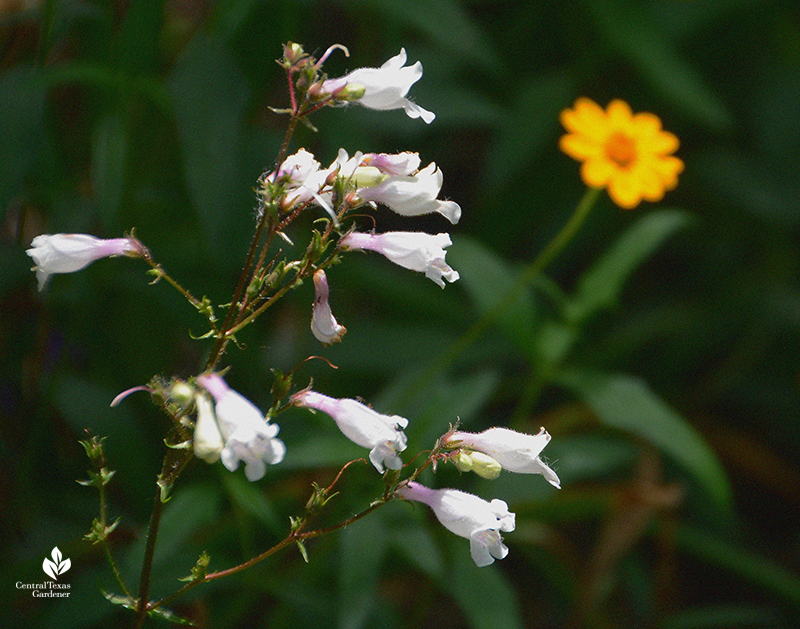 Native perennial Penstemon laxiflorus with Zexmenia for pollinators