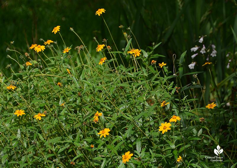 Native perennials for pollinators Zexmenia and Penstemon laxiflorus