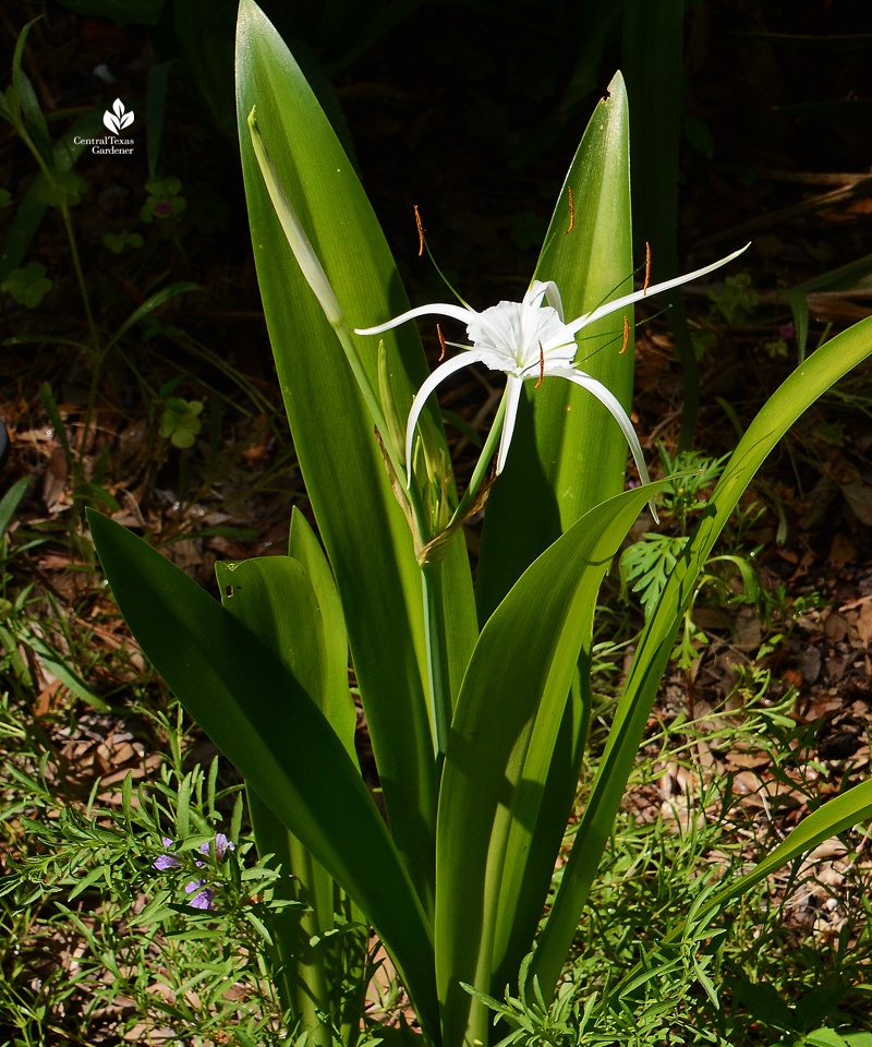 Spider lily Tropical Giant hymenocallis
