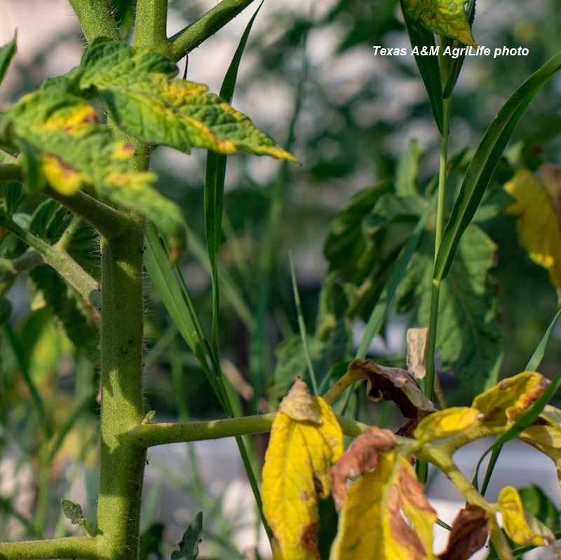 Yellowing-Tomato-plants-Texas A&M photo